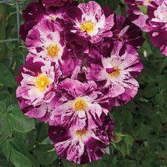 striped roses-purple splash