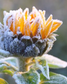 frozen sunflower, Fire and Ice Sunflower Patch, Sunflower Garden, Sunflower Design, Planting Sunflowers, Sunflowers And Daisies, Snow Flower, Sunflower Wallpaper, Winter Beauty, Winter Wonder