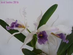 Cattleya purpurata var. werkhauseri, de Florinda Lopes