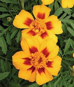 Burpee Flower Marigold Jaguar 33226 (Yellow Maroon) 25 Seeds David's Garden Seeds http://www.amazon.com/dp/B00HHBW25Q/ref=cm_sw_r_pi_dp_LAqhub1FFG11V
