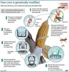 How Corn is Genetically Modified
