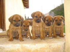 Rodesian Ridgeback puppies @ Foxhill estate Anoixi, Attika, Greece