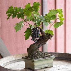 Wine Grape Bonsai | by Organic Bouquet via https://www.facebook.com/photo.php?fbid=10150864585887812=pb.135718492811.-2207520000.1378226169.=3=https%3A%2F%2Ffbcdn-sphotos-e-a.akamaihd.net%2Fhphotos-ak-ash2%2F543607_10150864585887812_1911553263_n.jpg=900%2C900