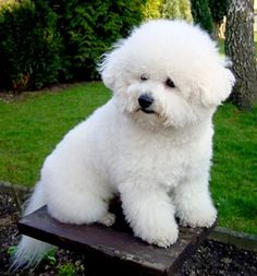 Bichon Frise: curly white lapdog, not yappy.