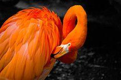 Birds Art - Flamingo  by Craig Perry-Ollila