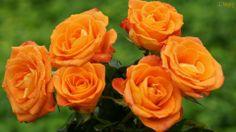 Papel de Parede Rosas Laranja
