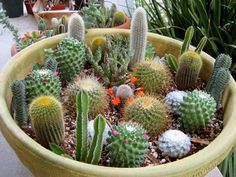 Cactus Bowl - I LOVE cactus - what a great thing on an indoor home space or outdoors!