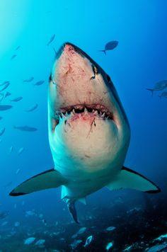 "thelovelyseas: "" Great White Shark, Neptune Islands, Australia by Tomas Kotouc "" Shark Pictures, Shark Photos, Megalodon, Save The Sharks, Shark Bait, Great White Shark, Ocean Creatures, Shark Week, Underwater World"