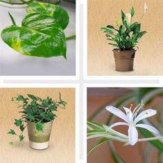 10 Clean-Air Plants for Your Home. Houseplants that do double duty clearing out pollutants in your indoor air. Air Cleaning Plants, Air Plants, Garden Plants, Indoor Plants, Cool Ideas, Diy Ideas, Indoor Garden, Outdoor Gardens, Feng Shui