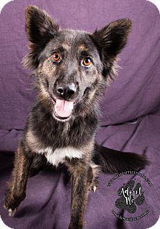 Sheltie, Shetland Sheepdog/German Shepherd Dog Mix Dog for adoption in Cincinnati, Ohio - Ireland