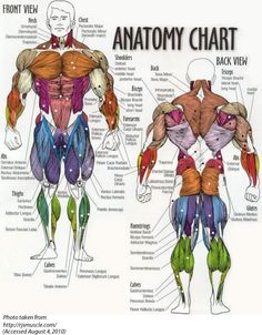 muscle charts - for tutoring