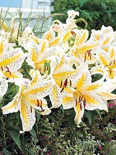 Lily, Gold Band. dutchgardens.com