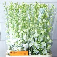 Delphinium guardian white is a White big, double flowered, top end variety. It is approx. and wholesaled in Batches of 10 stems. Very popular for wedding flowers. Flowers Uk, Plastic Flowers, Fresh Flowers, Wedding Flowers, Astilbe, Delphinium, Florist Supplies, Flowers Delivered, Flower Food