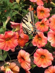 pretty swallowtail at the nursery