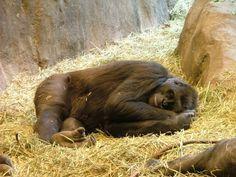 Where does a 500 pound gorilla sleep