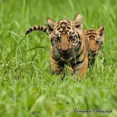 Bengal tiger cubs by Syahrul Ramadan - #500px #tiger #cute
