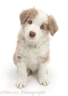 What I Sweetie - Cute lilac Border Collie puppy, 7 weeks old