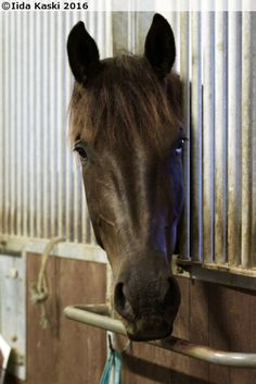 Finnhorse/Standardbred gelding Maijan Roco