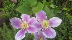 Clematis Piluu (syn. LIttle Duckling). Single flowers on new wood. Photo: Dagmara Walkowicz