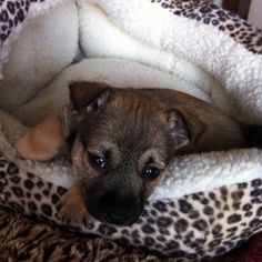 """Other new puppy """"Gracee Grey"""" (Grizzly's sister). TDB"""