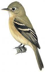 Cordilleran Flycatcher (Empidonax occidentalis)