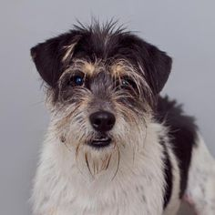 05/15/16 -Domineo Dog • Fox Terrier • Adult • Male • Medium Best Friends Pet Adoption & Spay Neuter Center Mission Hills, CA