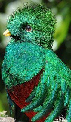 Resplendent Quetzel Guatemalas National Bird