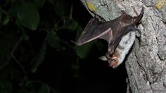 #Bats 'tricked' into flying into buildings - BBC News: BBC News Bats 'tricked' into flying into buildings BBC News Modern buildings with…