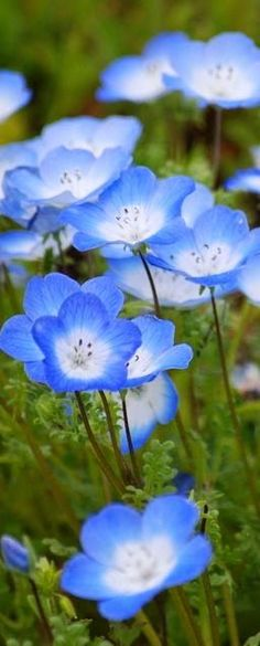 WILD FLOWERS Cheerful blue flowers, probably Nemophila menziesii, known commonly as baby blue eyes. Wild Flowers, Beautiful Flowers, Hair Flowers, Nice Flower, Flower Bouquets, Green Flowers, Blue Garden, Flower Delivery, Beautiful Gardens