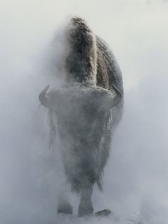 ~~ Ghostly Bison in Steam During Winter, Yellowstone National Park ~~