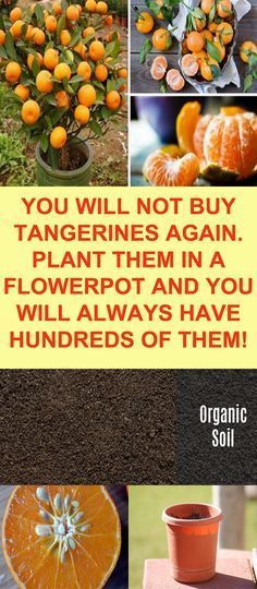 PLANT IN A POT!!! || ♡ DID YOU KNOW THAT TANGERINES HAVE ANTI-INFLAMMATORY PROPERTIES??? I didn\'t! ♥️A