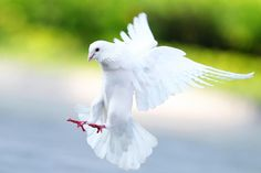 white dove   ...........click here to find out more     http://googydog.com
