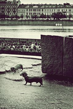 Doggy date Black White Photos, Black And White, Free Black, Boston Terrier, Public, Dating, Street, Dogs, Animals