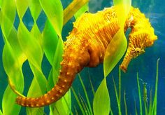 Every morning, they come  together, dance, change their color, twirl around with linked tails  and then separate for the rest of the day. While mating, seahorses utter musical sounds