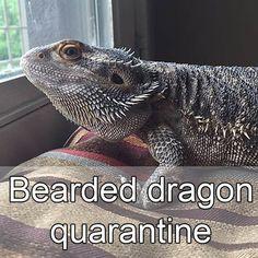 Bearded dragon quarantine