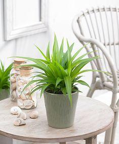 awokado w doniczce kwiaty doniczkowe pinterest. Black Bedroom Furniture Sets. Home Design Ideas