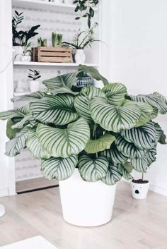 plantes à motifs calathea pot #design #plants #decoration