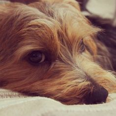 #dog #norfolkterrier #fluffypack #bestwoof #instadaily #dogvacay #fluffy #terrier #thatface #animallovers #cutie #petbox #doggy #cutedog #dogoftheday #pets_of_instagram #instagood #puppylove #hond #puppylover #instapuppy #excellent_dogs #instaterrier #instapet #dogsofinstagram
