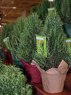 and delicious holiday gift, rosemary plants shaped to look like Christmas trees require minimal care and will continue to reward you long after the holidays pass. Rosemary Christmas Tree, Small Christmas Trees, Christmas Farm, Christmas 2017, Homemade Christmas, Christmas Decor, Topiary Plants, Topiaries, Rosemary Plant