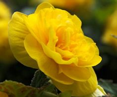 Begonia- great shade or partial shade plant