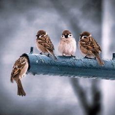 best ideas for sparrow bird photography watches Little Birds, Love Birds, Beautiful Birds, Beautiful Pictures, Beautiful Things, Sparrow Bird, Bird Watching, Bird Feathers, Animal Photography