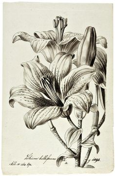 Weiss a collection of ca 1700 original pen and wash drawing of plants from the botanical garden at Lemberg