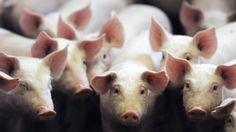 Seeking Pig Organs for Human Transplants http://rss.sciam.com/~r/sciam/health-and-medicine/~3/kSRnKZw2CtA/