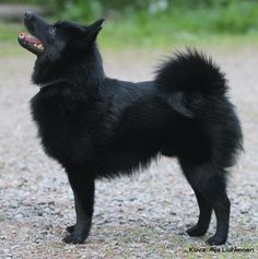 "The Schipperke originates from Belgium and was bred originally as a barge watchdog, ratter and as a performer. It's origins can be dated back to the 1600's. The Schipperke is so named as it is the Flemish name for ""Little Captain"""