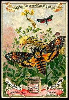 1898.  Moths of Central Europe (No. 2) trading card issued by Liebig Extract of Beef Company.  S555.