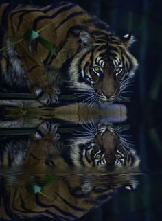 Sumatran Tiger -- Panthera tigris sumatrae is the smallest subspecies of tiger that is native to the Indonesian island of Sumatra. My dream.
