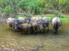 Water buffalos Water Buffalo, Cattle, Trips, Animals, Gado Gado, Viajes, Animales, Animaux, Traveling