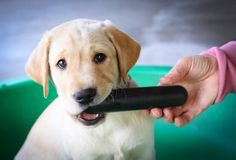 Lab puppy with the Goughnut Stick