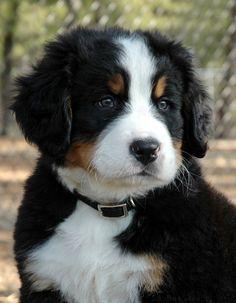 Good Heavens, what a cute Berner Pup!