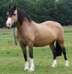 Buckskin Welsh Cob Mare (no dorsal stripe) Most Beautiful Horses, Pretty Horses, Horse Love, Animals Beautiful, Welsh Pony, Pony Breeds, Horse Breeds, Poney Welsh, Dun Horse